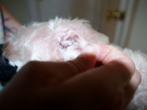 Remove hair from the ear canal- Take charge of your pet's stinky ears and chronic ear infections